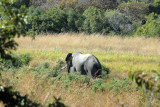 Elephant, Kafue National Park