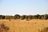 Large herd of impala in the distance