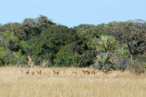 Herd of impala, Kafue National Park