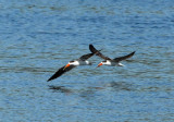 The African skimmers still circling in the same spot several hours later