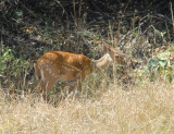 Bushbuck hanging around McBride's Camp