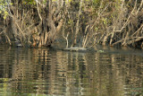 Crocodile, Kafue River, Kafue National Park