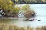 Hippos, Kafue River