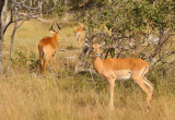 Impala, Kafue National Park