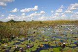 Lily covered open water of the Bangweulu Swamps
