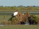 Sacred Ibis (Threskiornis aethiopicus) on the edge of the Bangweulu Swamps