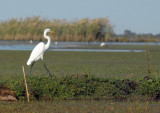 Great White Egret on the edge of the Bangweulu Swamps