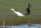 Egret and Open-billed Stork