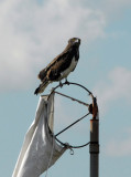Martial Eagle (Polemaetus bellicosus) perched on the windsock of Chimbwi Airstrip