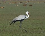 Wattled crane with a herd of black lechwe