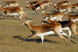 Herd of Black Lechwe running, Bangweulu Flats