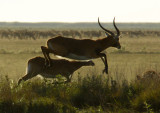 Black Lechwe jumping with the main herd in the distance