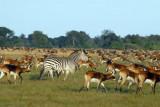 Zebra vastly outnumbered by Black Lechwe, Bangweulu Flats