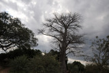 Baobab on a cloudy day as we drive from Mfuwe Airport
