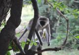Vervet Monkey, Wildlife Camp
