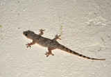 A small lizard stuck to the wall of the Chalet