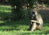 Baboon, Wildlife Camp