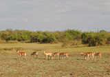 Impala near Wildlife Camp