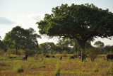 We come across a herd of buffalo on our walking safari