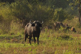 The African Buffalo, one of the Big 5, has a reputation as a very dangerous animal
