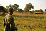 Zambian scout from Wildlife Camp watching buffalo