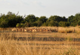 A herd of impala wary of our approach
