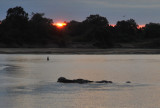 Hippos in the Luangwa River at sunrise
