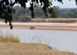 Mother hippo emerging from the river with a tiny baby following