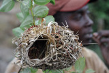 Apparently female weaver birds are very fussy and will not accept less-than-perfect nests