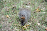 Banded mongoose at Wildlife Camp