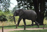 The staff chased this young bull elephant away