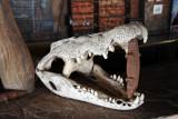Crocodile skull at the Pool Bar, Wildlife Camp