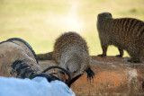 The two young mongooses at Wildlife Camp (why not mongeese)