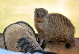 Young banded mongoose with my shoe, Wildlife Camp