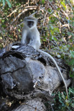 Vervet Monkey, Wildlife Camp
