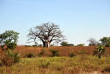 Baobab on the road to Mfuwe Airport