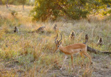 Impala walking past a group of baboons, South Luangwa National Park