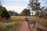 Zebra in the road, South Luangwa National Park