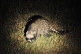 Night drive at South Luangwa - civet