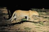 Leopard (Panthera pardus), South Luangwa National Park