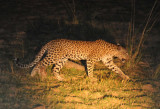 The guide said this leopard is a young male, not full grown