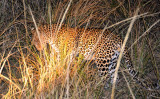 Ironic that I saw my first two leopards on the same day that my 400mm lens broke...