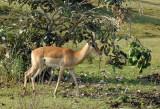 Impala, South Luangwa National Park