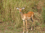 Young buck, South Luangwa National Park