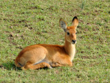 Baby puku, South Luangwa National Park