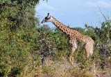 Thornicroft Giraffe or Rhodesian Giraffe  (Giraffa camelopardalis thornicrofti)