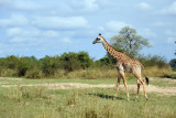 Thornicroft Giraffe, South Luangwa National Park