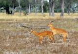 Frisky puku, South Luangwa National Park