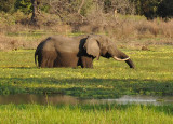 Big bull elephant with huge tusks, South Luangwa