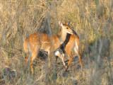 A pair of Bushbuck, South Luangwa National Park
